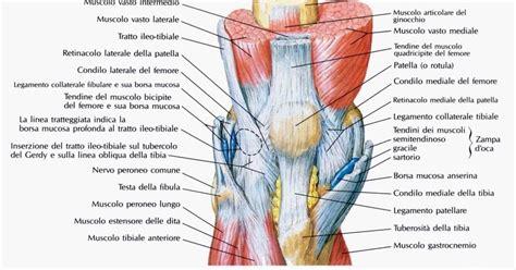 collaterale interno ginocchio 174 fisioriab il ginocchio anatomia e biomeccanica