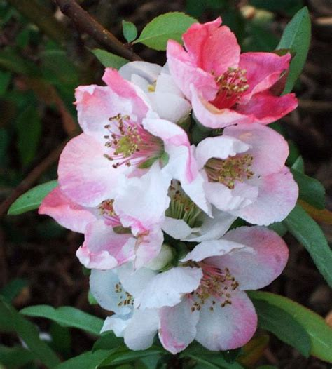 flowering quince shrub best plants for hedges bomets