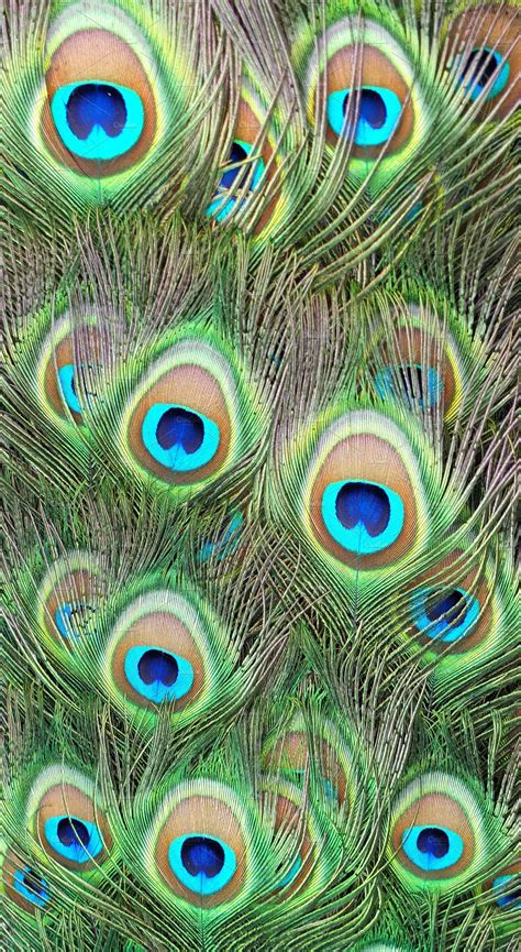feather background peacock feather background 183