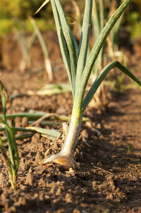 information on growing onions in the garden