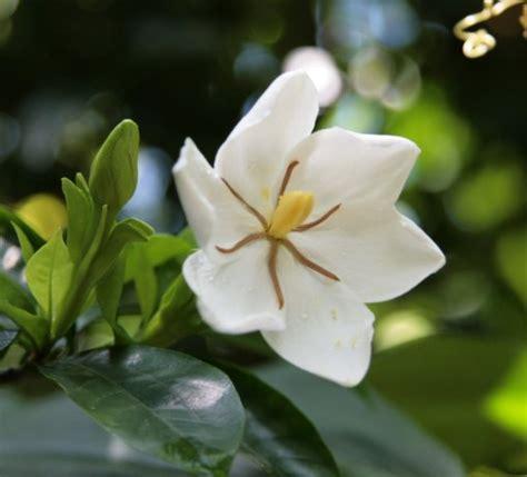 Gardenia Song Kogai Thru Kushojin