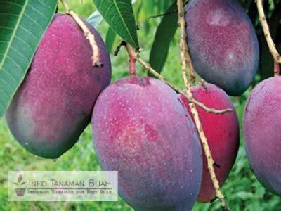 Bibit Buah Tinara Ungu bibit tanaman buah mangga irwin jenis mangga unggul dengan warna buah unik ungu kemerahan