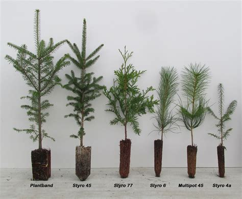 Tree Seedling Planter by Tree Seedlings Availability Conifers Conifers