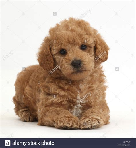 cross between golden retriever and poodle golden retriever poodle cross stock photos golden retriever poodle cross stock