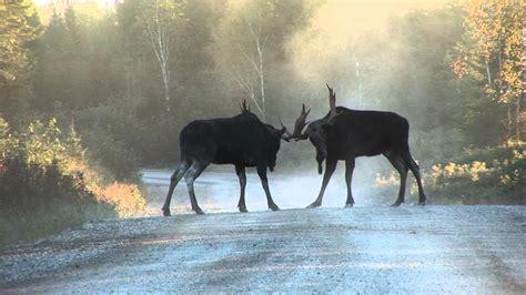 lhomme panache classique yukon 4 part 2 youtube bull moose fighting severe injury youtube