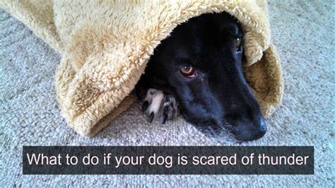 how to comfort a dog during thunderstorms what to do if your dog is scared of thunder thatmutt com