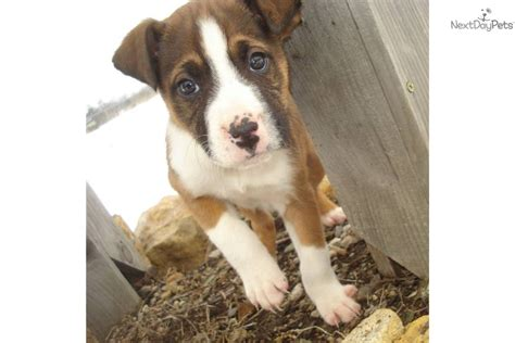boxer puppies for sale las vegas boxer puppy for adoption near 197785b9 4c72