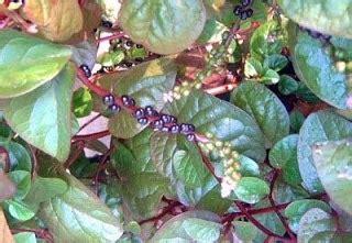Obat Herbal Untuk Menghilangkan Uci Uci manfaat dan ramuan herbal tanaman gendola untuk mengobati