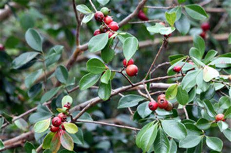 Planter Des Fougères by Goyavier Fruit Goyave Fruit De La R 233 Union