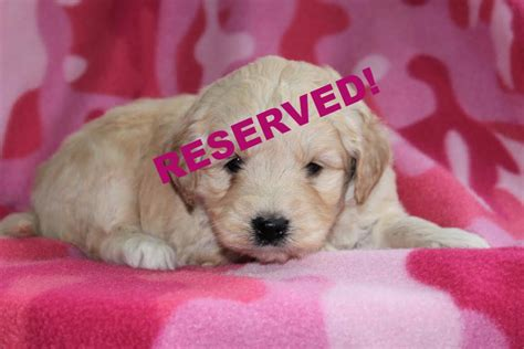 mini goldendoodles for sale in nc miniature goldendoodle puppies for sale in carolina