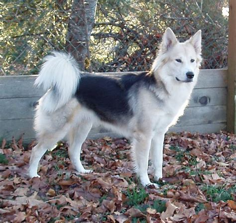 german shepherd mixed with husky german shepherd wolf mix search cool stuff