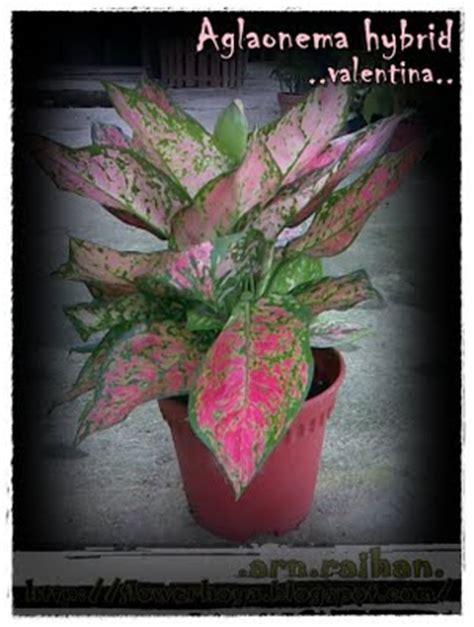 jenis jenis aglaonema tanaman hias aglaonema