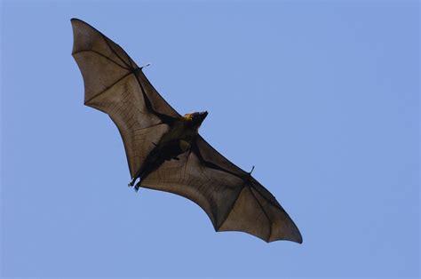 le pipistrelo come adottare un pipistrello un prezioso alleato contro gli insetti fastidiosi il bioamatore