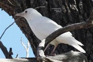 Attracting Backyard Birds Albino Bird A White Crow Birds And Blooms
