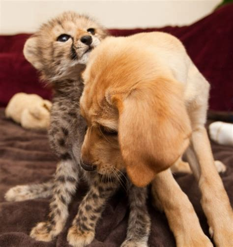 baby cheetah cub to become part of busch gardens cheetah baby cheetah and puppy become pals animal fact guide
