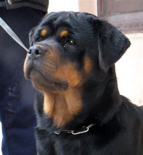 german rottweiler for sale best 25 german rottweiler puppies ideas on german rottweiler rottweiler