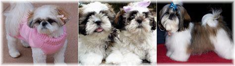 shih tzu puppies for sale in huntsville alabama shih tzu breeders in alabama
