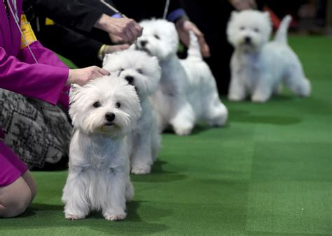 buzzfeed puppies the cutest dogs of the 2016 westminster show