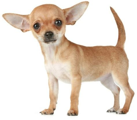 Smallest Breed In The World ? The Sweet Of Chihuahuas