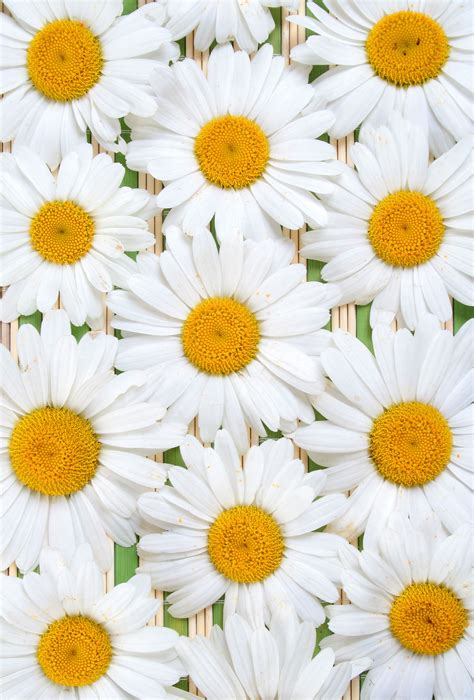 daisy wallpaper pinterest daisy rare roses on paper white camomile flowers white