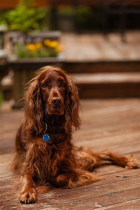 irish setter dog characteristics 126 best images about irish setter on pinterest irish