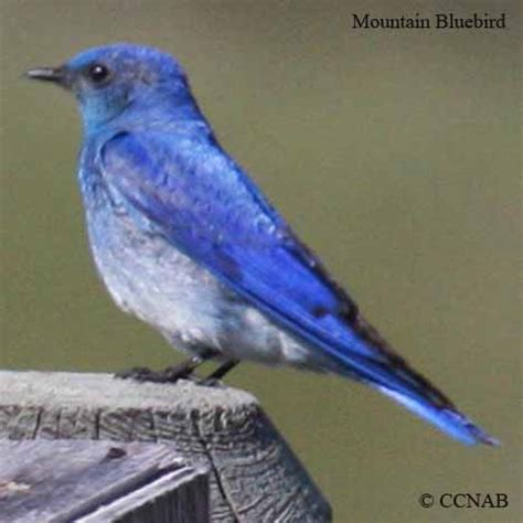 blue birds birds by color north american birds birds