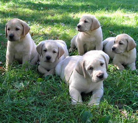 labrador puppies information labrador retriever lab information all about the labrador retriever