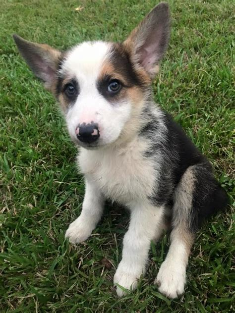 panda german shepherd akc panda german shepherd puppy in hoobly classifieds