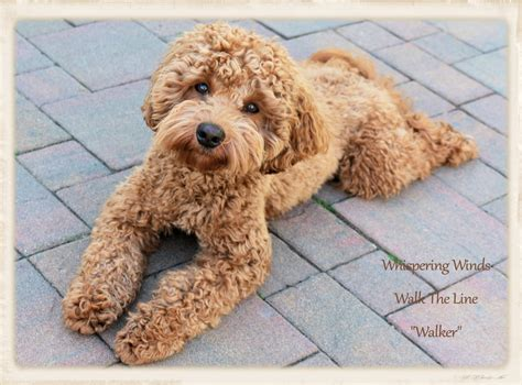mini labradoodles ny our boys point australian labradoodles