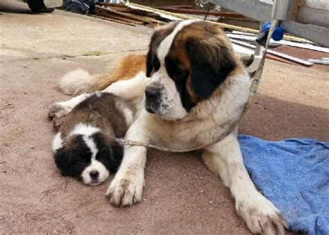 puppies for sale in port st bernard puppies for sale find me a pet
