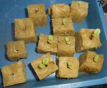 Bibit Selada Hijau cara menyemai benih hidroponik dengan media rockwool