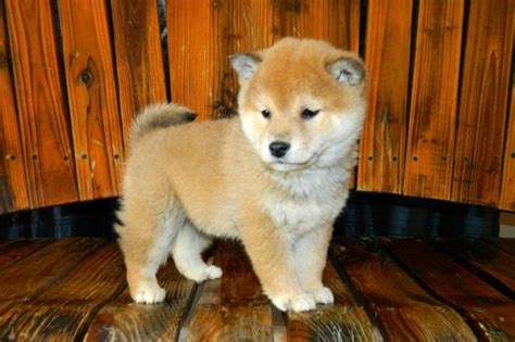 shiba inu puppy price shiba inu price range how much does a shiba inu puppy cost