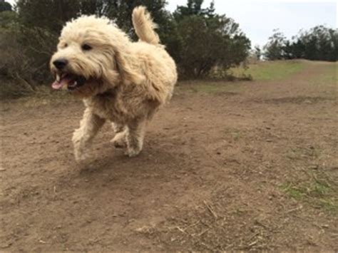 goldendoodle puppy itching your goldendoodle thedogtrainingsecret