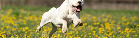 best food to feed a puppy 7 best foods to feed your and puppy dogo argentino