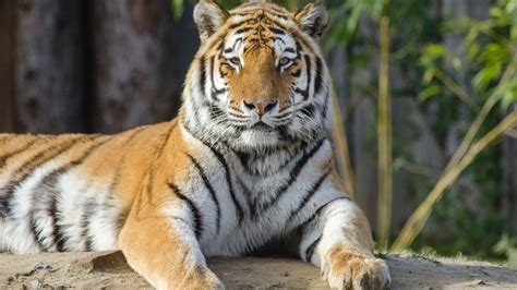 wallpaper 4k tiger tiger at a zoo 4k ultra hd wallpaper and background image