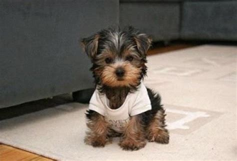 i want a yorkie teddy dogs this is what i want awww puppies teddy dogs