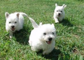 west highland white terrier puppies west highland white terrier dog breed pictures