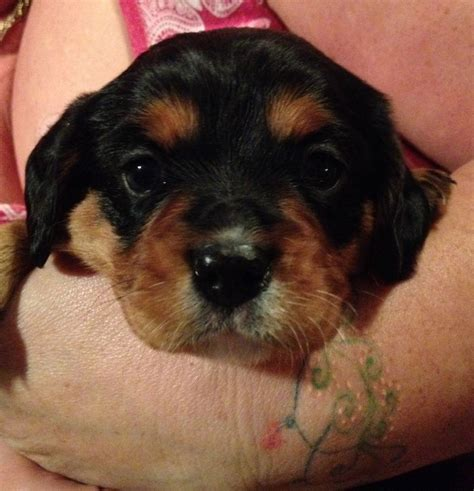 cavador puppies for sale cavalier cavador cross puppies fairford gloucestershire pets4homes