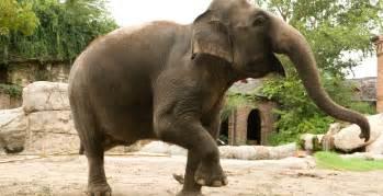 elephant sound machine un nez 233 norme au milieu du visage