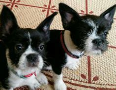 boston terrier and shih tzu boston terrier shih tzu mix boshih boshih terriers shih tzu and
