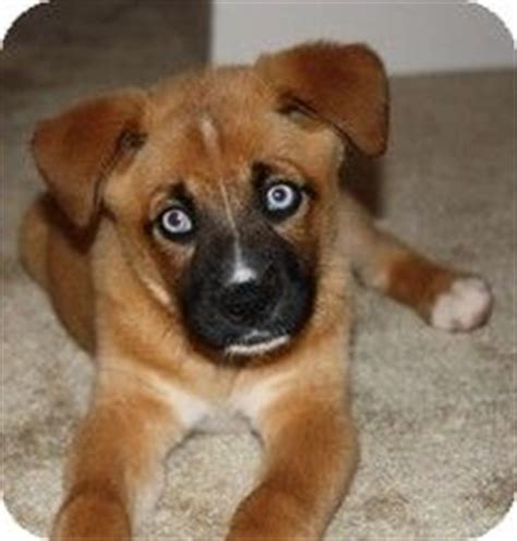 boxer husky puppies 1000 images about on husky mix boxer lab mixes and mixes