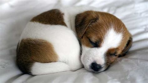 c puppy why adorable puppies can make you feel iflscience