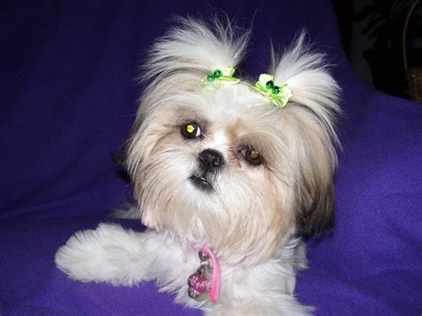 shih tzu digging 346 best shih tzu hairstyles images on shih tzus hairstyles and animals