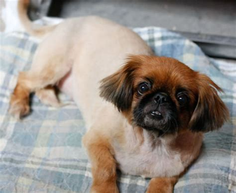 Winnie   Pekingese   Humane Society of Dallas County