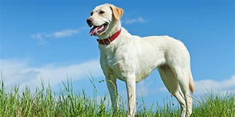 how to my labrador labrador health pyometra how to make sure your is safe