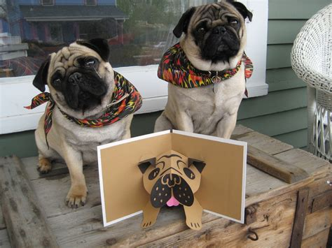 pug pop pug card pugs pug pop up card based on robert sabuda s pig flickr