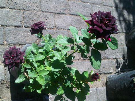 tanaman mawar hitam black rose bibitbungacom