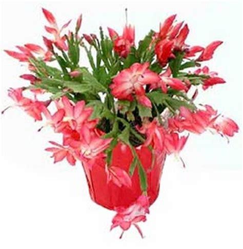 Kaktus Cactus Pink Siklam Tanaman Hidup Kaktus Cactus Pink Siklam 1 tanaman wijaya kusuma kepiting merah
