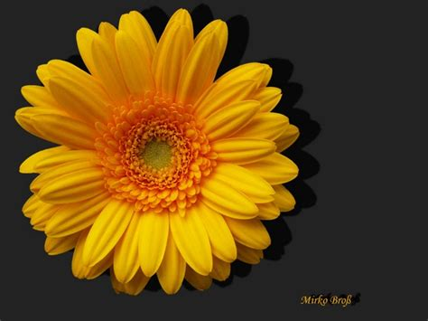 Gerbera Garten Pflanzen by Bl 252 Ten Im Garten Gerbera Foto Bild Pflanzen Pilze