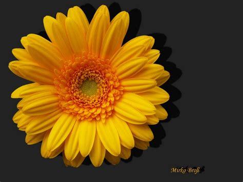 Orange Pilze Im Garten by Bl 252 Ten Im Garten Gerbera Foto Bild Pflanzen Pilze
